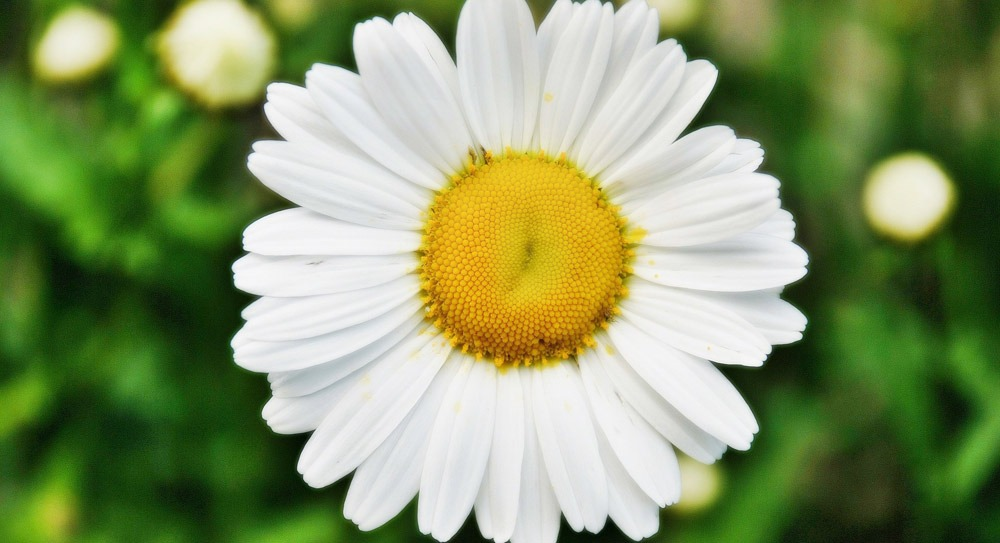 daisy-wide-wallpaper-495300